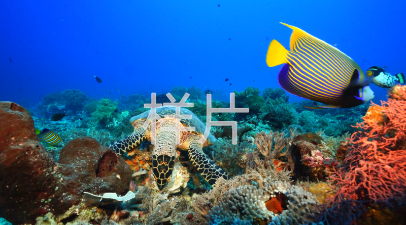 玳瑁 珊瑚鱼_自然光_全 中景_玳瑁啃珊瑚