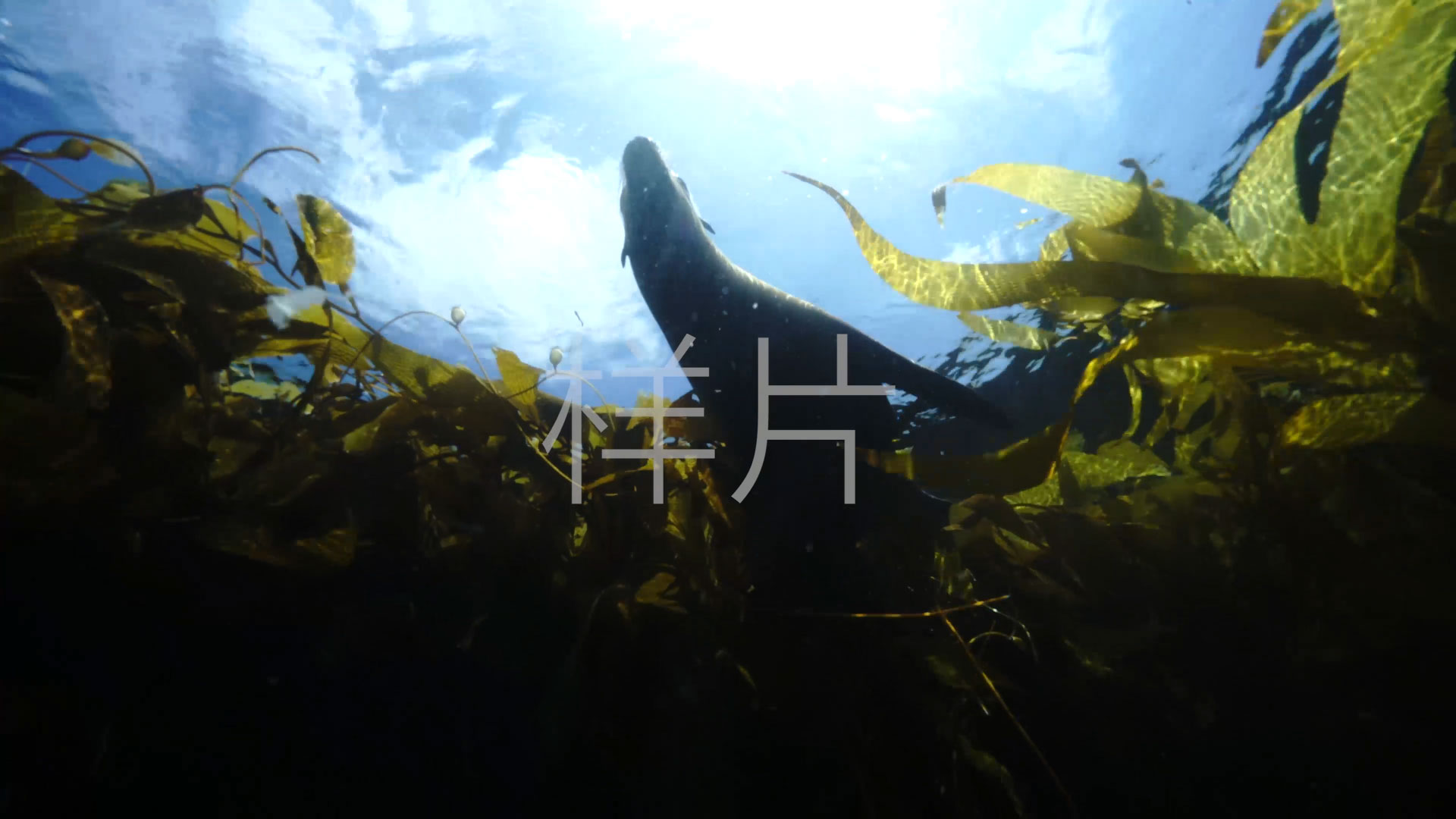 马尾藻 海狮