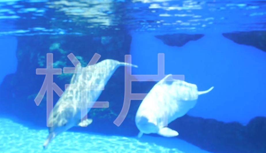 白海豚_顶侧光_远 近景_近水面嬉戏